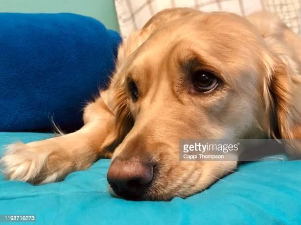 close up portrait of cute looking golden retriever - cappi thompson stock pictures, royalty-free photos & images