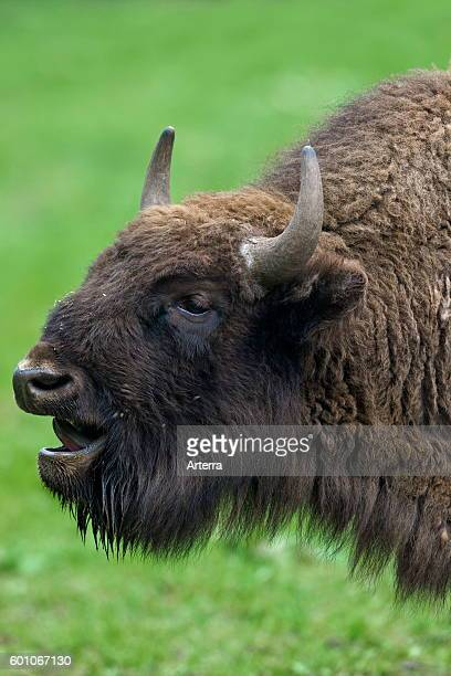 close up portrait of European bison / wisent bellowing