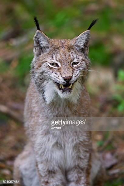 Close up portrait of European lynx / Eurasian lynx hissing.