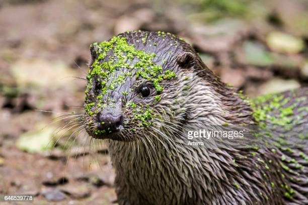 Close up portrait of European River Otter covered in duckweed