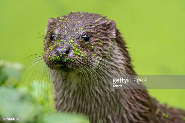 Close up portrait of European River Otter in pond covered in duckweed