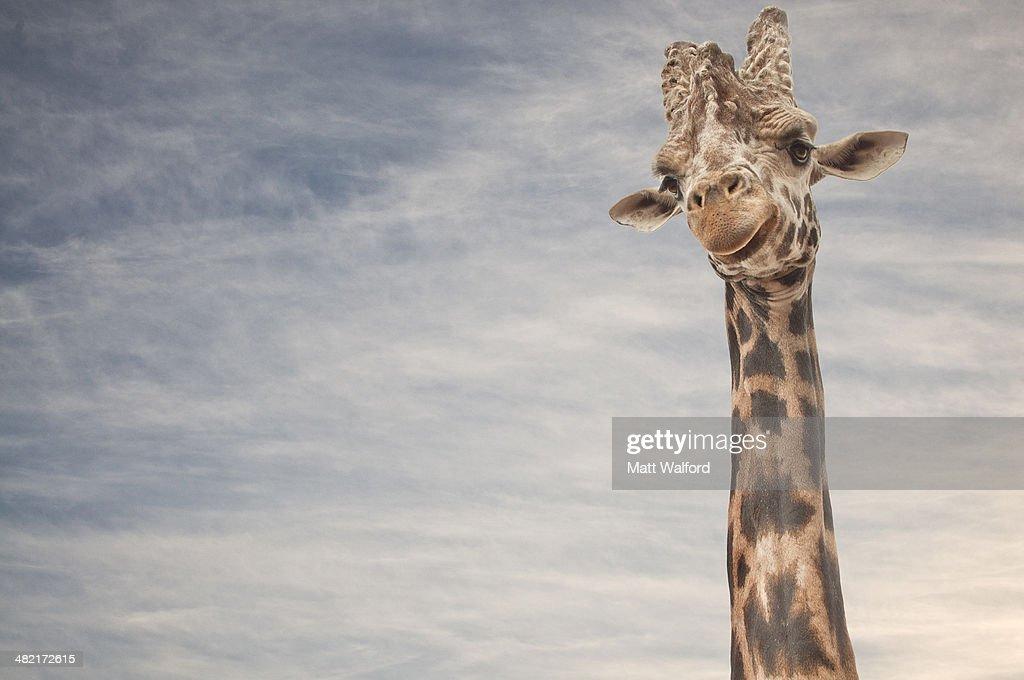 Close up portrait of giraffe : Stock Photo