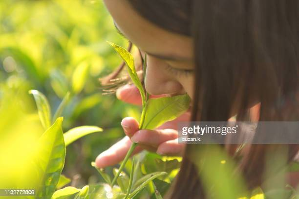 close up portrait of girl holding and smelling tea leaf. - camellia sinensis stock photos and pictures