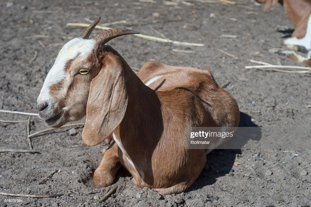 Close up portrait of goat laying on a field : Foto stock