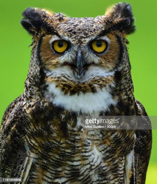 close up portrait of great horned owl - great horned owl stock pictures, royalty-free photos & images