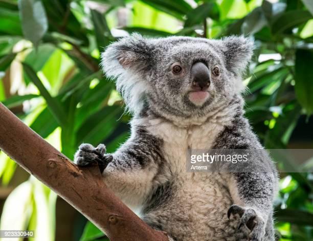 Close up portrait of koala resting in tree marsupial native to Australia