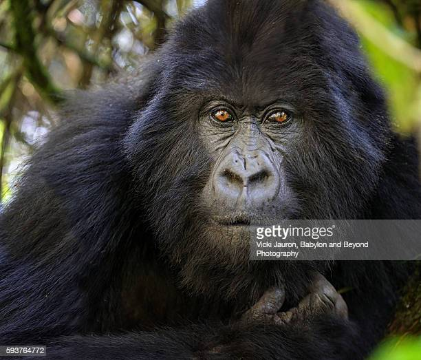 close up portrait of mafunzo female - mountain gorilla of rwanda - virunga national park stock pictures, royalty-free photos & images