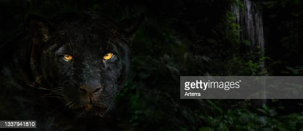 Close up portrait of melanistic jaguar. Black panther at night in the jungle, black color morph, native to Central and South America.