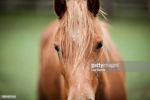 Close up portrait of pony looking at camera