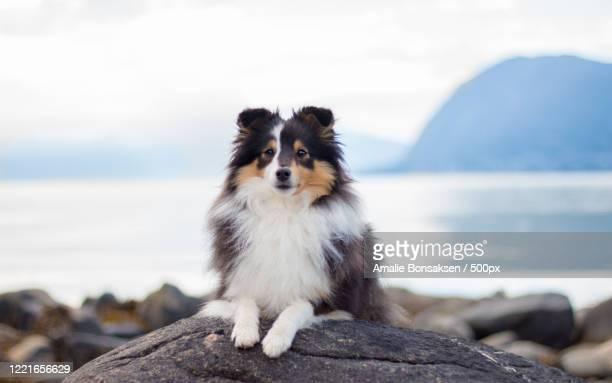 close up portrait of shetland sheepdog on beach - コリー ストックフォトと画像