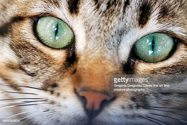 close up portrait of tabby cat - gregoria gregoriou crowe fine art and creative photography. stock-fotos und bilder