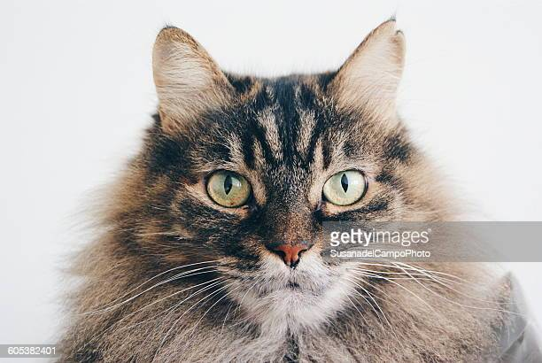 Close up portrait of tabby cat