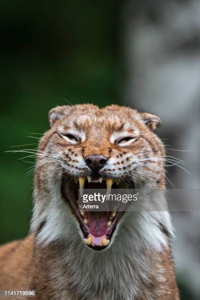 Close up portrait of yawning Eurasian lynx showing teeth and long canines in open mouth.