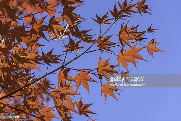 Close up red Japanese maple leaves against blue sky