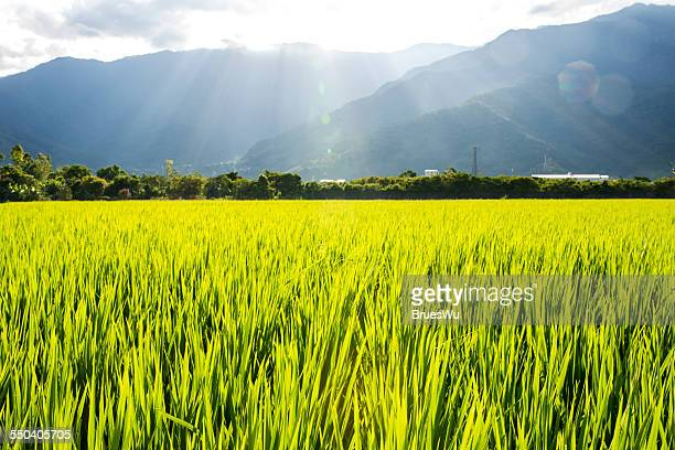 Close up rice fields with shining sunlight