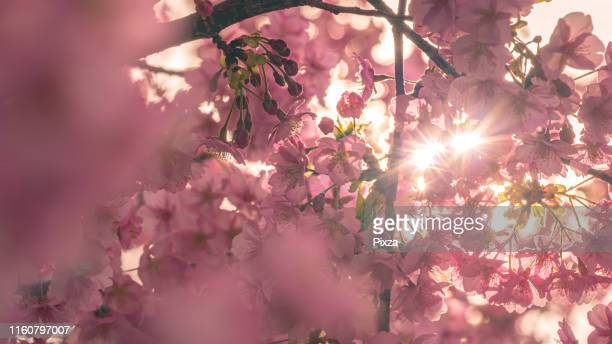 close up sakura flower in the morning light - 静岡市 ストックフォトと画像