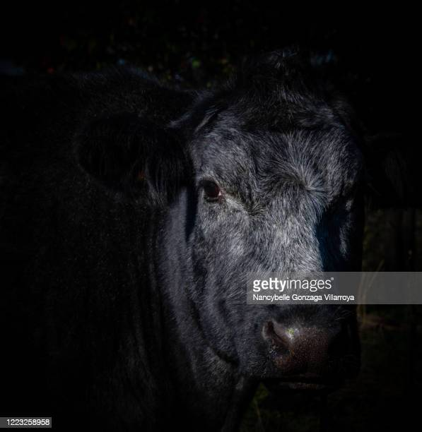 a close up shot of a single black angus cow - bull animal stock pictures, royalty-free photos & images