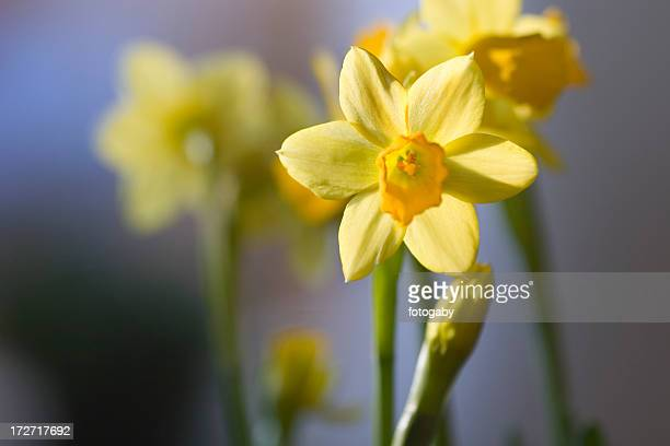 A close up shot of a yellow narcissus flower