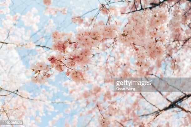 close up shot of cherry blossom - 桜 ストックフォトと画像