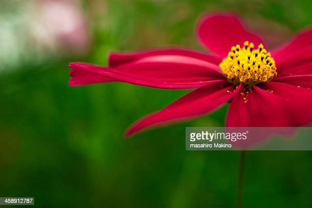Close up shot of cosmos flower
