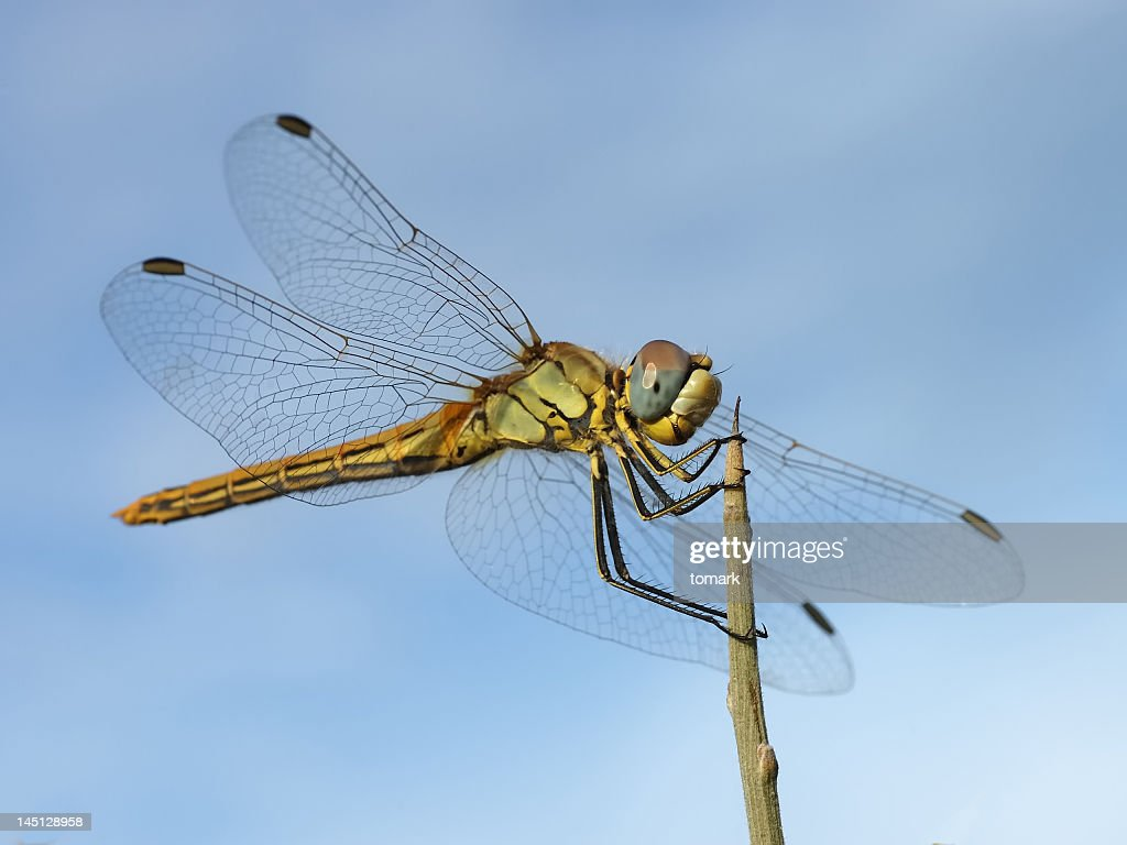 Close up shot of dragonfly landing on top of a stick : Stock Photo