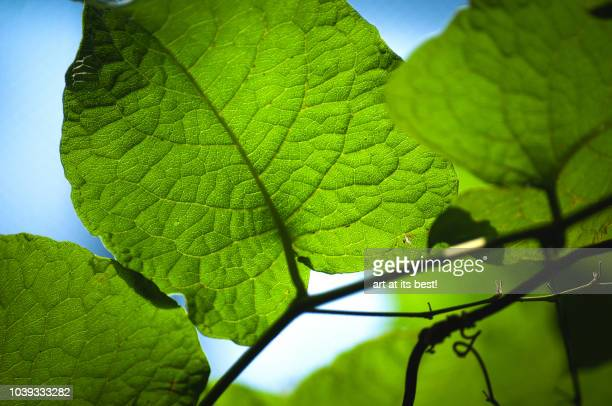 close up shot of leafs with backlight - photosynthesis stock photos and pictures