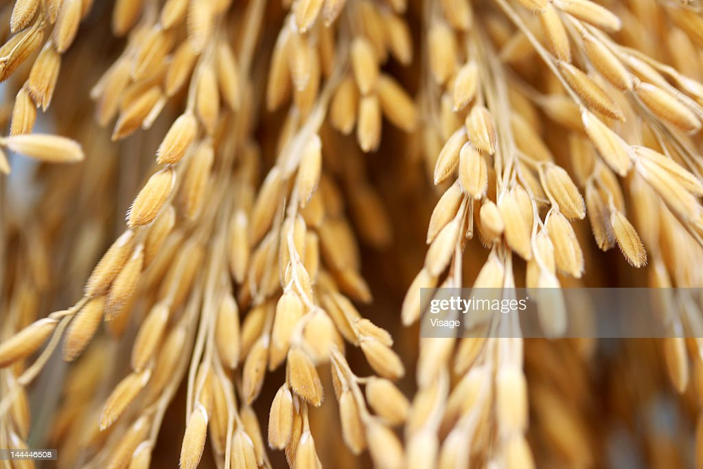 Close up shot of paddy crop : Stock Photo