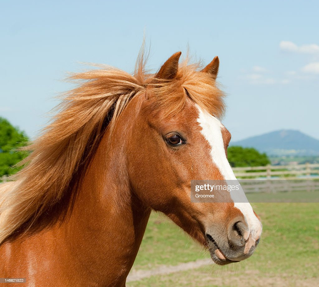 Close up shot of pretty chestnut pony-see portfolio for more : Stock Photo
