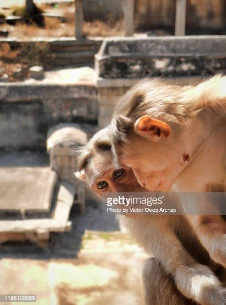 close up shot of two bonnet macaques playing around the virupaksha temple in hampi, karnataka, india - victor ovies fotografías e imágenes de stock