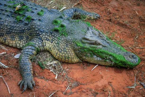 Close up shot showing a saltwater crocodile resting on the banks of a pool in a crocodile farm, Broome, Western Australia, Australia