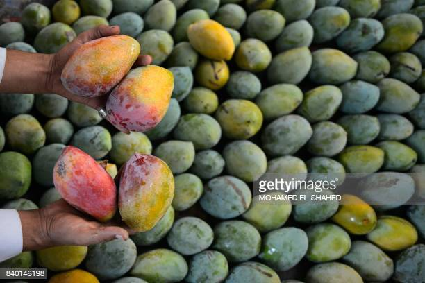A close up shot shows the hands of an Egyptian farmer showing mangoes at a field in Wadi AlNatrun area in AlBeheira Governorate on August 26 2017