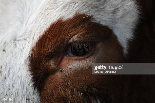 Close up shows the eye of a dairy cow in a farm on March 11, 2015 in Caserta, southern Italy. Thirty years after introducing quotas to combat the...