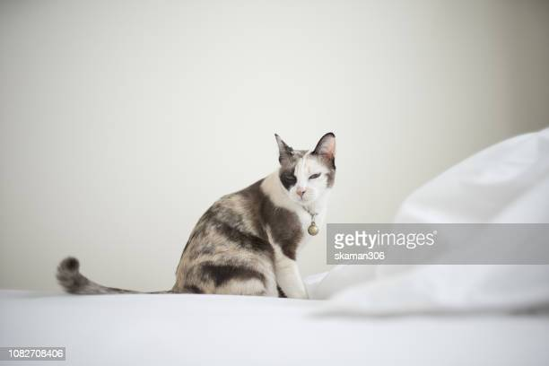 close up siamese cat kitten on the bed - litter box stock photos and pictures