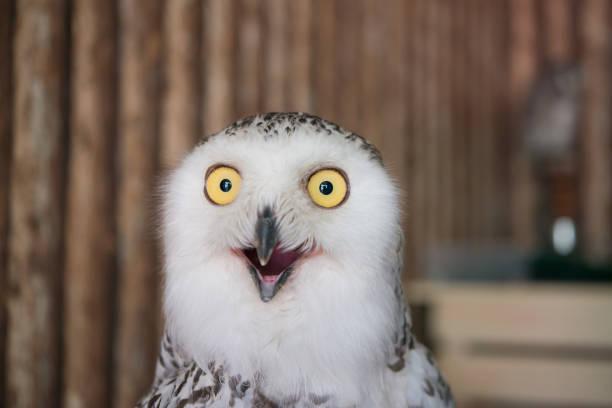 Close Up Snowy Owl Eye - Fine Art prints