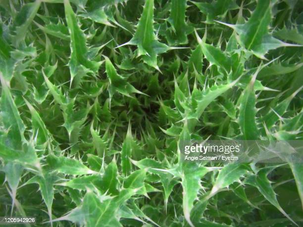close up sticker bush of thistle flower - fragile sticker stock pictures, royalty-free photos & images