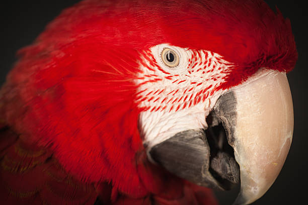 Close up studio shot of a scarlet macaw