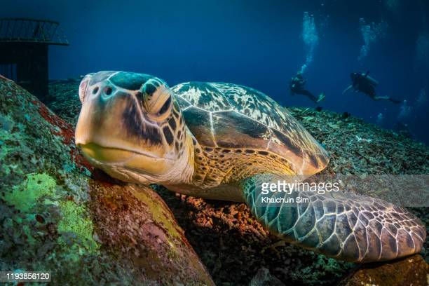 close up turtle lying underwater on seabed looking at camera - tortue photos et images de collection