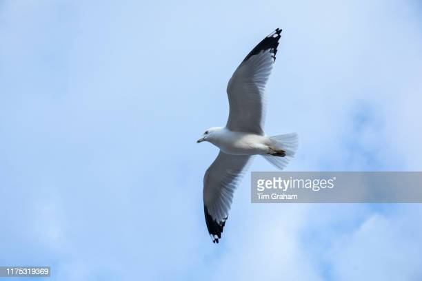 Close up underside of wings and feathers of Ringbilled gull Larus delawarensis soaring in lone flight at Cape Cod United States