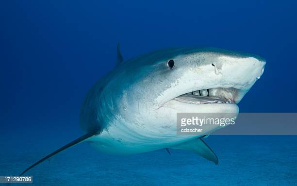 Close up underwater image of a tiger shark
