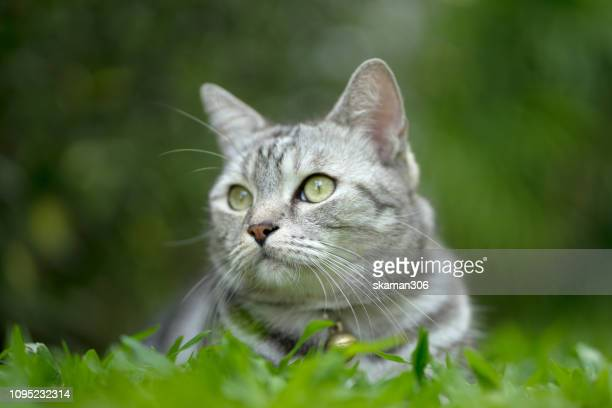 close up very cute american short hair cat on the backyard garden - hairy bush stock pictures, royalty-free photos & images
