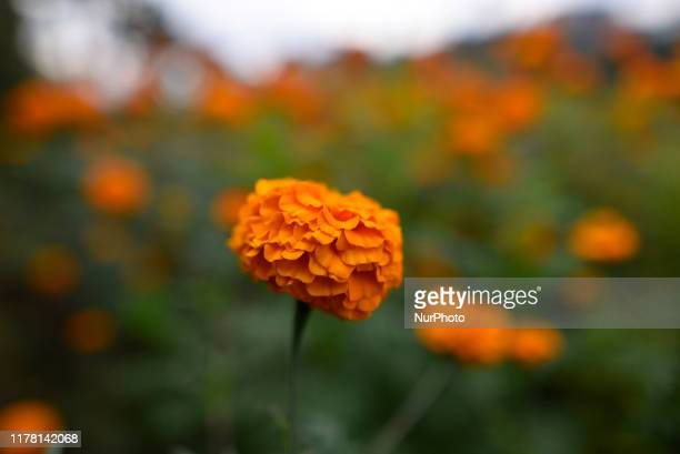 A close up vies of marigold flower for the Tihar Festival or festival of lights and festival of flowers at Kathmandu Nepal on Friday October 25 2019