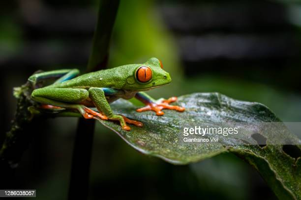 close up view of a beautiful red eye frog in the rain forest of costa rica - frog stock pictures, royalty-free photos & images