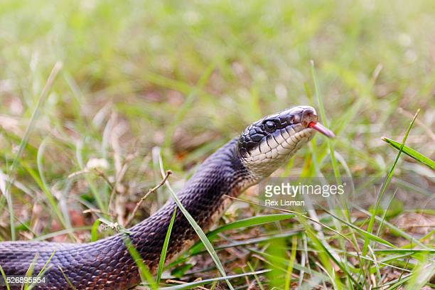 a close up view of a black rat snake in grass - black rat snake stock pictures, royalty-free photos & images