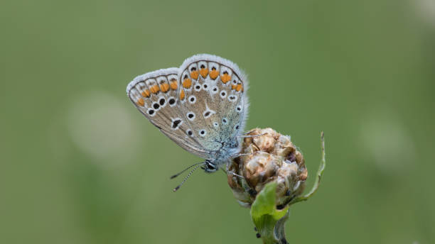Close up view of a common blue butterfly perching on a flower