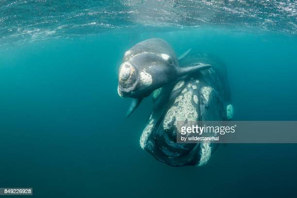 close up view of a curious southern right whale calf and it's mother swimming right up to the camera, puerto piramides, argentina. - duroni foto e immagini stock