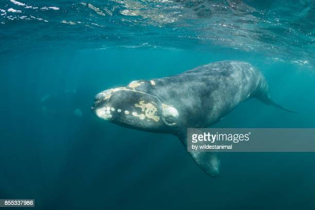 Close up view of a curious southern right whale calf with it's mother in the background, Puerto Piramides, Argentina.