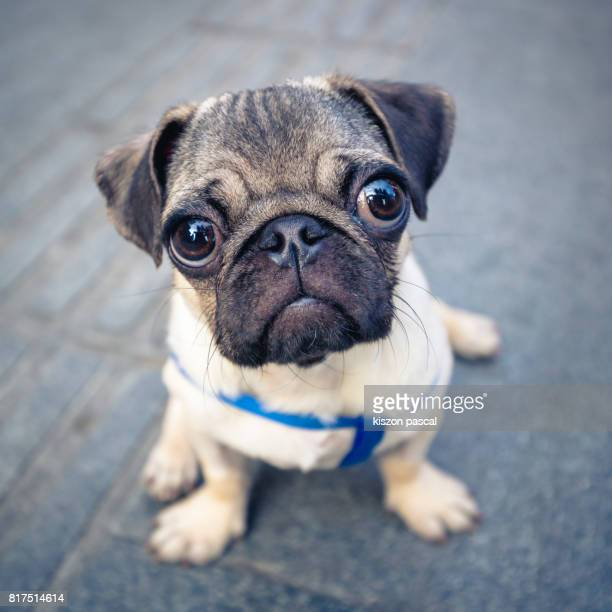 close up view of a cute baby pug in street