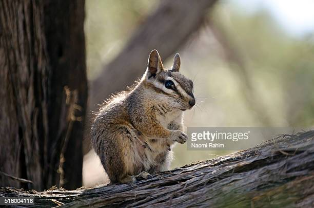 Chipmunk in Grand Canyon National Park