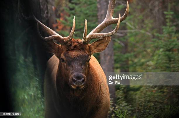 close up view of a mature male elk as seen from car window - wapiti (cervus canadensis) - manly wilder stock-fotos und bilder