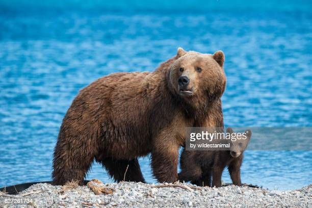 Close up view of a mother brown bear standing over her cub as they appear to be looking out for any danger, Kuril Lake, Kamchatka, Russia.